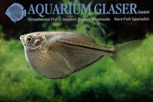 Gasteropelecus sternicla - XXL man