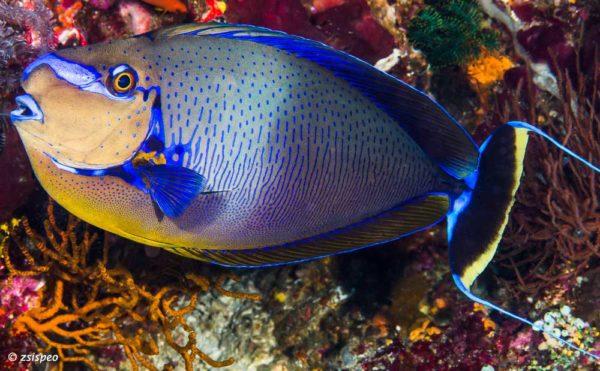 Naso vlamingii - Grootneus Eenhoornvis - met levendige kleuren