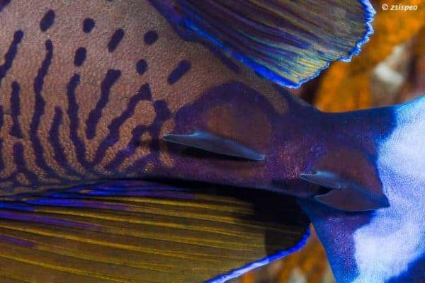 Naso vlamingii - Grootneus Eenhoornvis - Scalpels