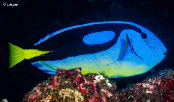 Paracanthurus hepatus met gele buik die alleen de variant ui de Westelijk Indische Oceaan heeft