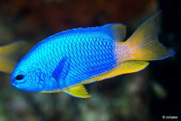 Pomacentrus coelestis - Neon Juffer
