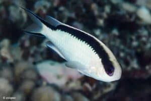 Pomachromis
