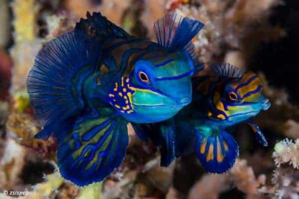 Synchiropus splendidus - Blauwe Mandarijn Pitvis tijdens het paren