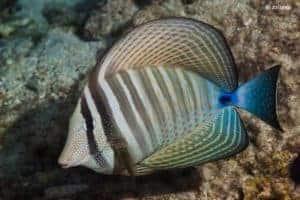 Zebrasoma desjardinii - Gestreepte Zeilvin Doktersvis