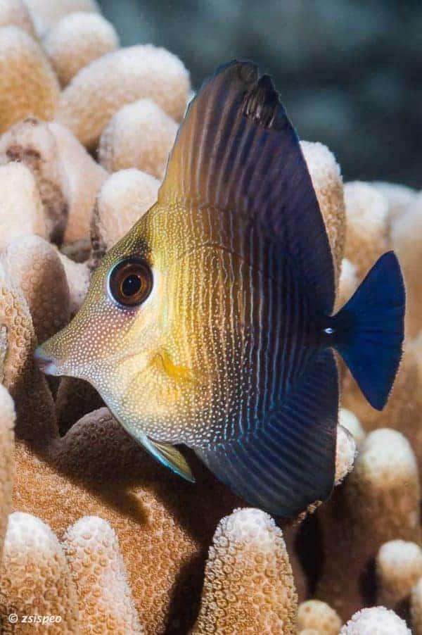 Zebrasoma scopas - Bruin - Grijze Zeilvindoktersvis - Juveniel