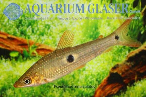 Pseudanos trimaculatus - Drievlek Kopstaander