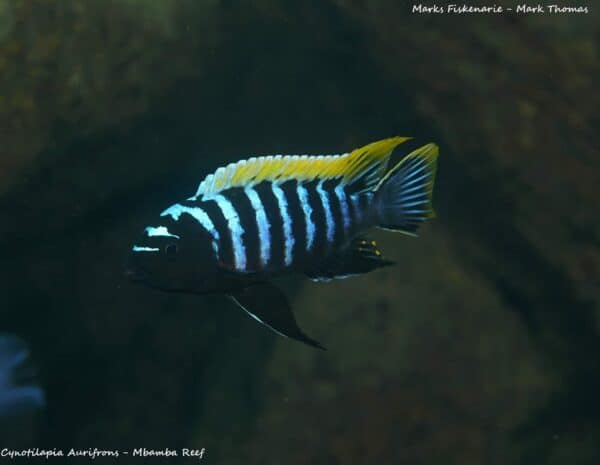 Cynotilapia aurifrons - Mbamba Reef