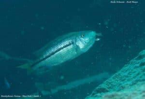 Dimidiochromis kiwinge - Chiwi Rock - Vrouw met jongen