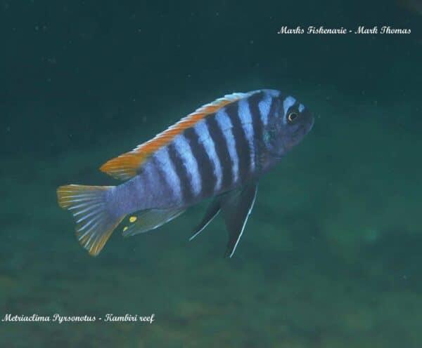 Metriaclima pyrsonotos - Kambiri Reef