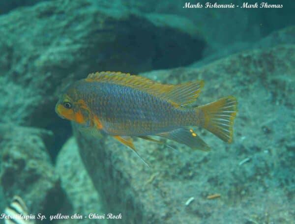 Petrotilapia sp. Yellow Chin - Chiwi Rock