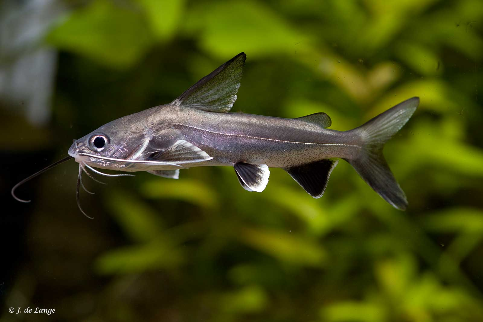 Ariopsis seemanni - Mini Haai