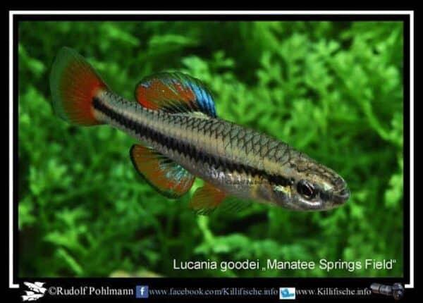 Lucania goodei - Manatee Springs Field - Man