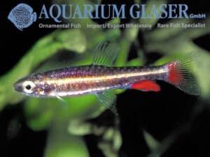 Nannostomus anduzei - Man