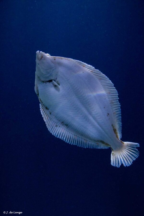 Pleuronectes platessa - Schol - Buik