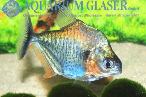Serrasalmus eigenmanni - Roodhaak Piranha - Peru