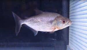 Serrasalmus elongatus - Snoek Piranha