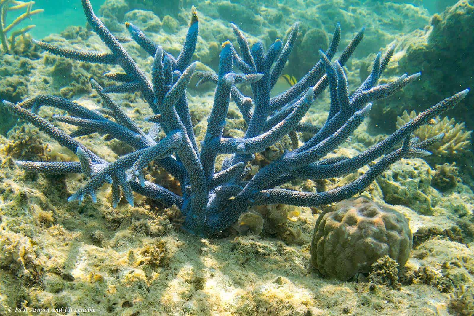 Kleinpoliepig Steenkoraal SPS