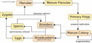 Koraal levenscyclus