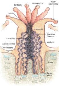 koraal poliep anatomie