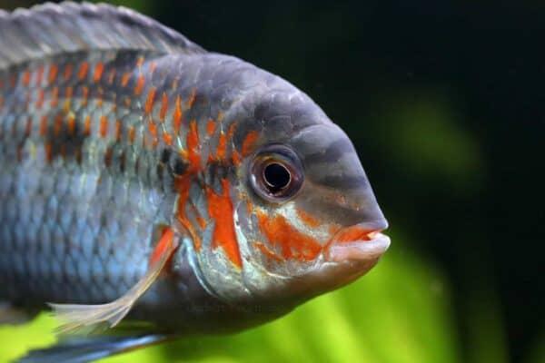 Krobia xinguensis - close up