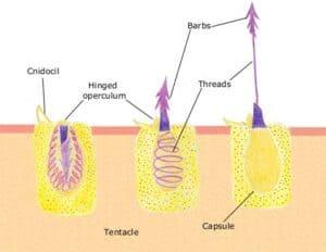 Nematocyst voert netelcel af in drie stappen.
