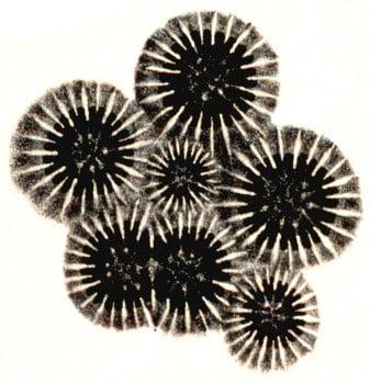 Basale platen (calices) van Orbicella annularis tonen vermenigvuldiging door knopvorming (kleine centrale plaat) en deling (grote dubbele plaat)