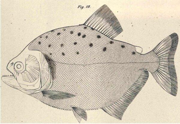 Serrasalmus maculatus - Maculatus Piranha - Tekening Rudolf Kner