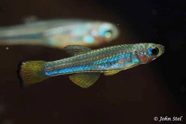 Congopanchax myersi - Kolibri Killi