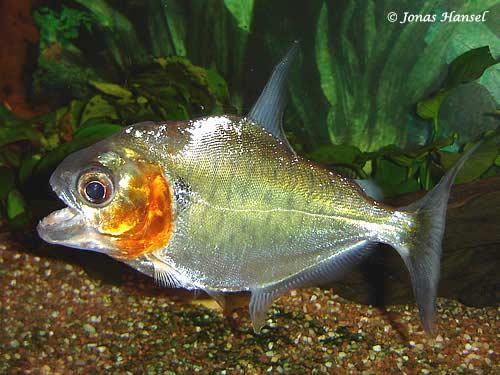 Serrasalmus manueli - Manuel's Piranha
