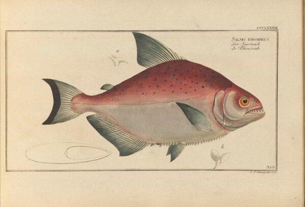 Serrasalmus rhombeus - Zwarte Piranha - Dr. Marcus Elileser Bloch