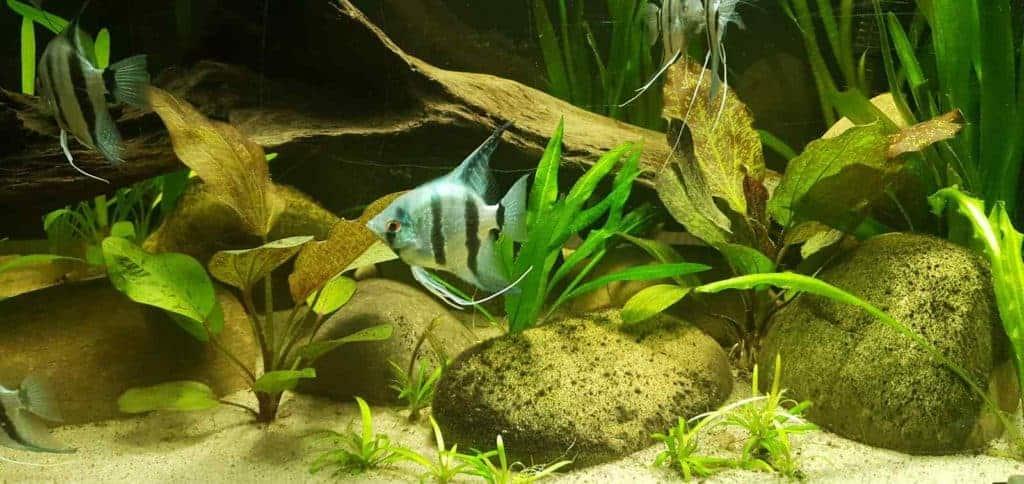 Blauwe Maanvis