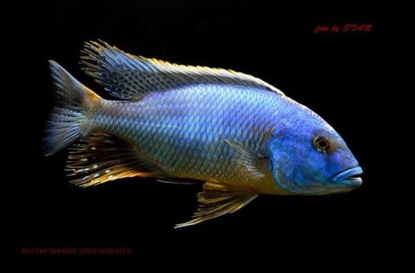 Buccochromis heterotaenia - Man