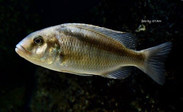 Buccochromis heterotaenia vrouw