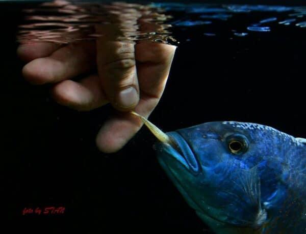 Buccochromis heterotaenia wordt gevoerd