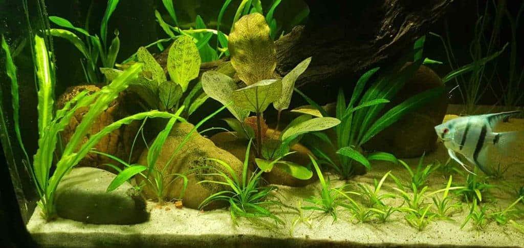 De planten in de linkerhoek van het aquarium.