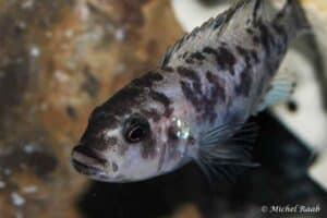 Genyochromis mento - Cove Mountain