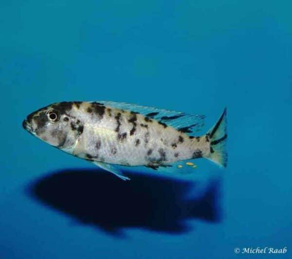 Genyochromis mento - Lundo