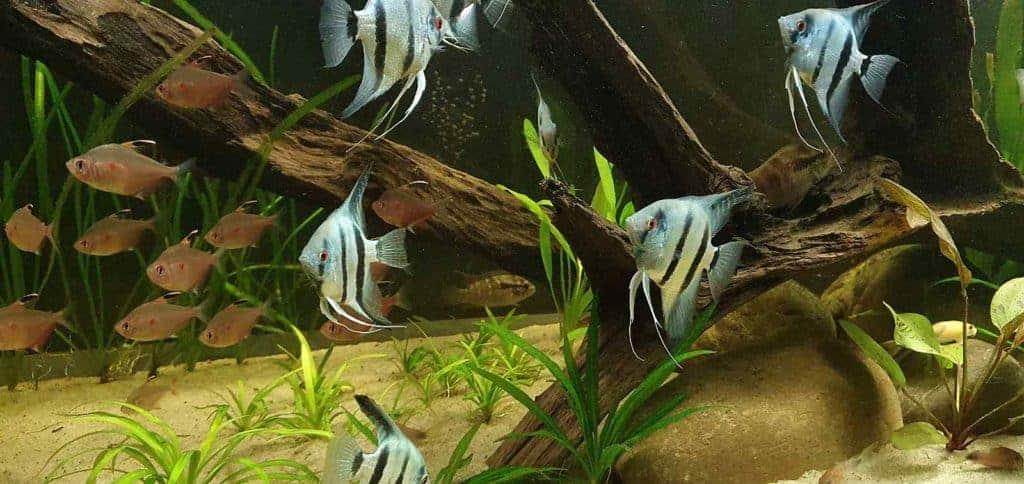 Maanvissen en Bloedvlek Tetra's