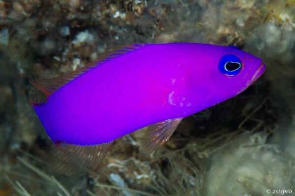 Pictichromis porphyrea - Magenta Dwergbaars