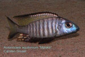 Aulonocara aquilonium - Mdoka Reef