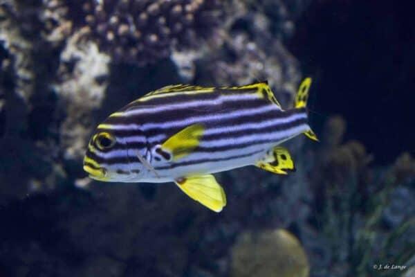 Plectorhinchus lineatus - Geel Gestreepte Diklipvis