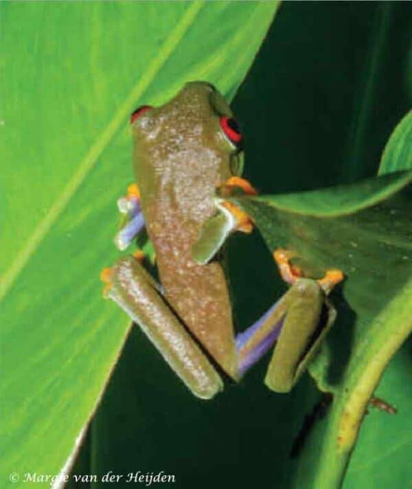 Agalychnis callidryas - Roodoogmakikikker