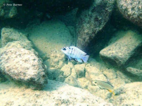Labidochromis sp. 'gigas mara' bij Mara Rocks