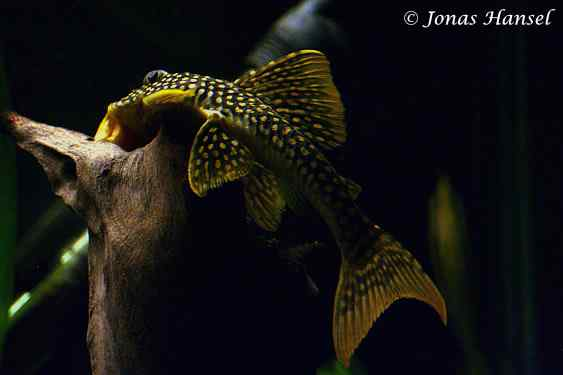 Scobinancistrus aureatus - Golden Pleco L014