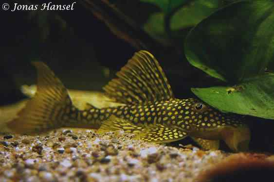 Scobinancistrus aureatus - Golden Pleco L014