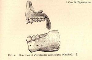 Pygopristis denticulata tanden