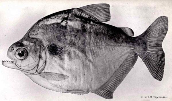 Pristobrycon calmoni