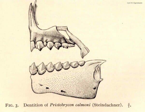 Pristobrycon calmoni tanden