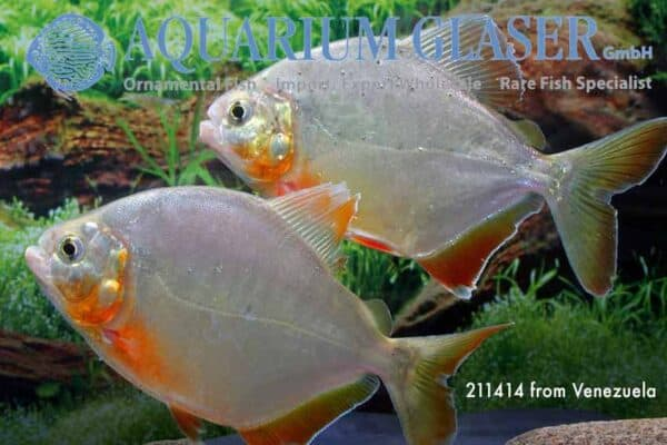 Pygopristis denticulata - Gouden Piranha - Venezuela