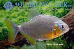 Pygopristis denticulata - Gouden Piranha - Brazilië